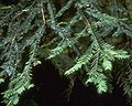 Taxus brevifolia1.jpg