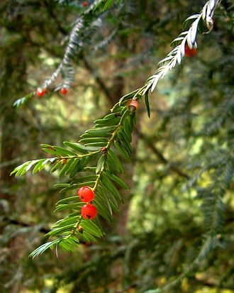Taxus brevifolia - Taxus brevifolia (Pacific yew) foliage and fruit