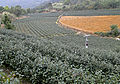 Tea plantation, Pinglin.jpg