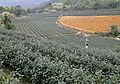 Tea plantation, Pinglin.jpg