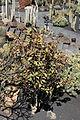 Teguise Guatiza - Jardin - Euphorbia bicompacta 01 ies.jpg