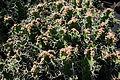 Teguise Guatiza - Jardin - Euphorbia grandicornis 01 ies.jpg