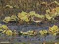 Temminck's Stint (Calidris temminckii) (34768501222).jpg