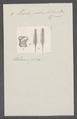 Teredo palmulatus - - Print - Iconographia Zoologica - Special Collections University of Amsterdam - UBAINV0274 080 02 0006.tif