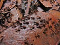 Termites (Nasutitermes sp.) (8439859723).jpg