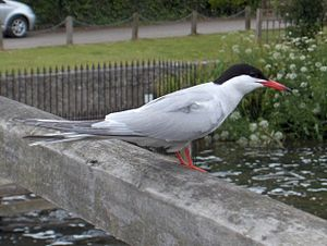 Sterna - Common tern by the River Thames