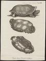 Testudo indica - 1700-1880 - Print - Iconographia Zoologica - Special Collections University of Amsterdam - UBA01 IZ11600075.tif