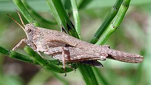 Saber-thorn insect (Tetrix subulata), ♀