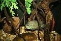 Texas Cichlid (Herichthys cyanoguttatus) (3152826506).jpg