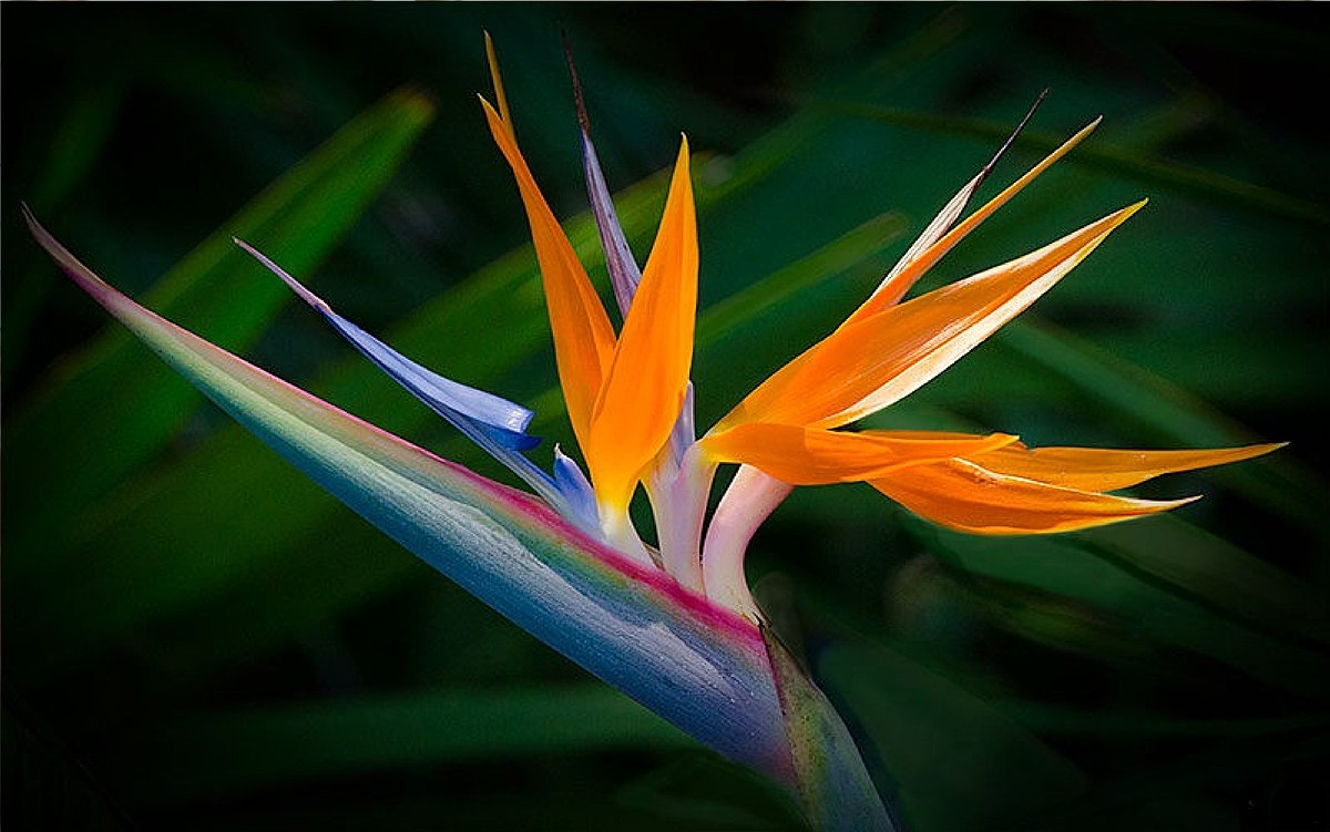 The Bird of Paradise Flower .jpg