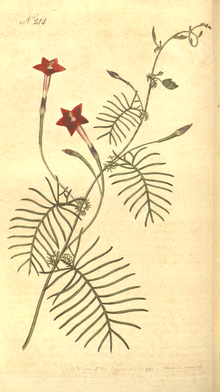 The Botanical Magazine, Plate 244 (Volume 7, 1794).png