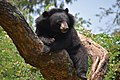 The Himalayan black bear (Ursus thibetanus) is a rare subspecies of the Asiatic black bear. 12.jpg