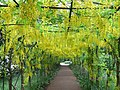 The John Beer Laburnum Walk - geograph.org.uk - 342825.jpg