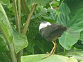 The White Breasted Waterhen of Tripura 1.jpg