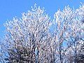 The beginning of winter, ice covered trees on top of a mountain- 2013-12-25 23-57.jpg