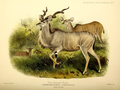 The book of antelopes (1894) Strepsiceros capensis.png