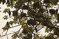 The colony of Indian Cormorant.jpg
