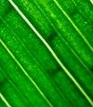 The parallel leaf veins (vascular bundles) of Iris pseudacorus X 16.jpg