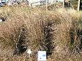 Themeda triandra plant12 (9600890721).jpg