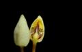Theobroma cacao - flower.tif