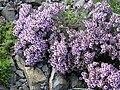 Thymus leucotrichus 6.JPG