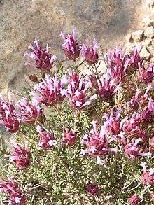Thymus moroderi03-800.jpg