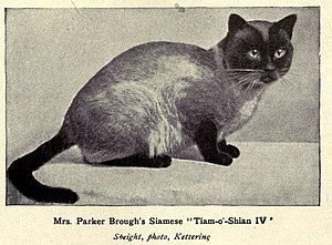 Thai cat - Classic Siamese from the early 1900s