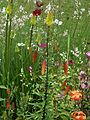 Tiger Lilies - Flickr - peganum.jpg