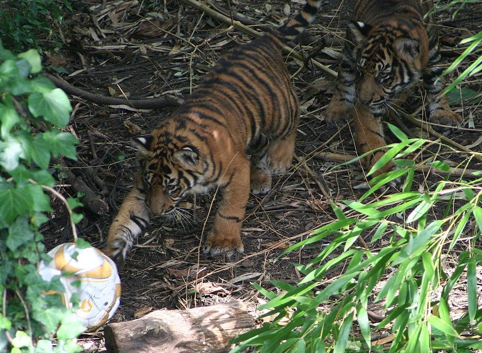 Tigerbabys Zoo Frankfurt
