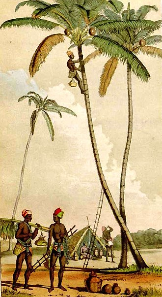 Palm wine - Toddy collectors at work on Cocos nucifera palms