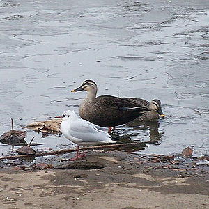 Karugamo (Anas poecilorhyncha) and Yuri-Kamome (Larus ridibundus) in city park without a coastline.