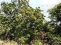 Togate Mara (Kannada- ತೊಗಟೆ ಮರ) (3188169598).jpg