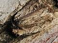 Tortricodes alternella (40216099980).jpg