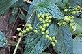 Tournefortia heyneana 12.JPG