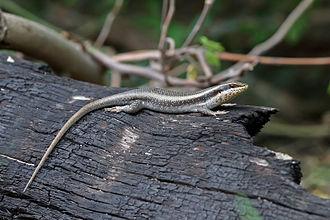 Trachylepis - Trachylepis striata