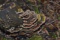Trametes versicolor - Coriolus versicolor - Polyporus versicolor - Schmetterlingstramete - Bunte Tramete - Schmetterlingsporling - 05.jpg