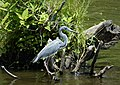 Tricolored Heron Egretta tricolor (38306402996).jpg