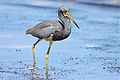 Tricoloured Heron (6779869404).jpg