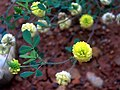 Trifolium campestre Closeup DehesaBoyaldePuertollano.jpg