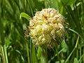 Trifolium fragiferum kz02.jpg