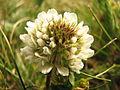 Trifolium repens2.jpg