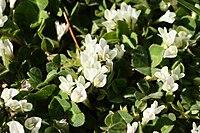 Trifolium subterraneum (flowers)