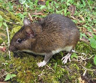 Echimyidae - An Atlantic spiny rat, Trinomys sp.