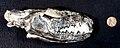 Tritemnodon skull.jpg