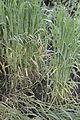 Triticum dicoccum flattend, bruinkafemmertarwe gelegerd(3).jpg