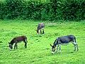 Trois ânes three donkeys (997879084).jpg