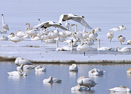 Tundra swans were the predominant species of swan on the Potomac River when the Algonquian tribes dwelled along its shores, and continue to be the most populous variety today. Tundra swans (6565983429).jpg