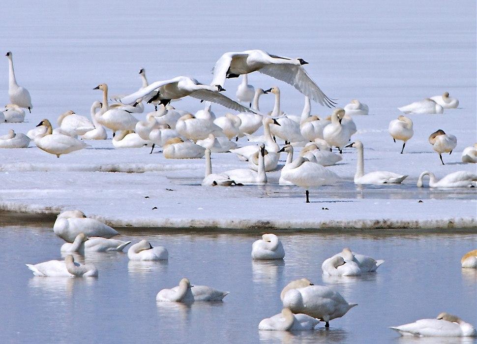 Tundra swans (6565983429)