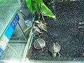 Turtles in Mong Kok 2.jpg