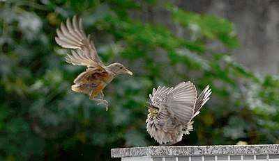 Two Small Birds Interacting One In Flight Standing